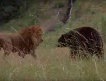 Кто победит в схватке между медведем и львом? Сила против прыткости