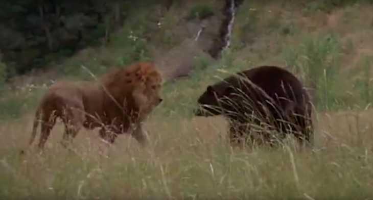 кто победит лев или медведь