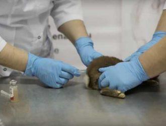прививка кроликам Раббивак-V