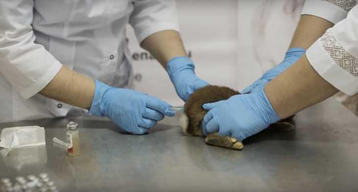 Прививка Раббивак-V, которую нужно делать кроликам