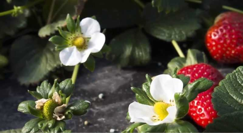 Как вырастить большой урожай клубники