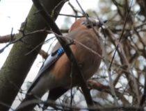 Сойка-пересмешница – красивая и достаточно активная птица