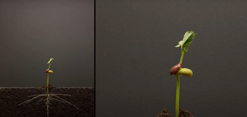 посадка и прорастание семени фасоли