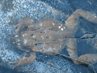 где зимуют лягушки и как переносят зиму