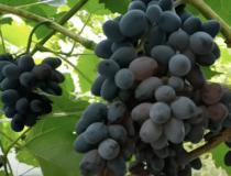 Так ли полезен виноград для организма?
