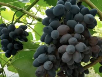 виноград польза вред