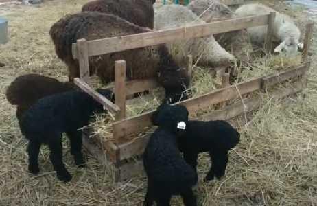 условия содержания и выпаса овец