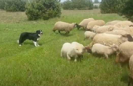 Отара овец с собакой