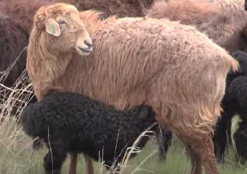 овца из отары